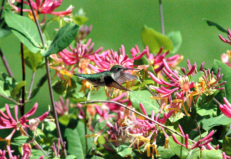 """A ruby-throated hummingbird feeds on honeysuckle blossoms. The photo ran with """"Field Notes: Humming In Honeysuckle."""" The story is available here, <a href=""""http://www.newtownbee.com/news/features/0001/11/30/field-notes-humming-honeysuckle/146937"""">http://www.newtownbee.com/news/features/0001/11/30/field-notes-humming-honeysuckle/146937</a>. (Clark photo)"""