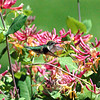 "A ruby-throated hummingbird feeds on honeysuckle blossoms. The photo ran with ""Field Notes: Humming In Honeysuckle."" The story is available here, <a href=""http://www.newtownbee.com/news/features/0001/11/30/field-notes-humming-honeysuckle/146937"">http://www.newtownbee.com/news/features/0001/11/30/field-notes-humming-honeysuckle/146937</a>. (Clark photo)"