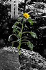 20111029_Sunflower006_out_BW