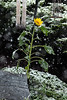 20111029_Sunflower006_out