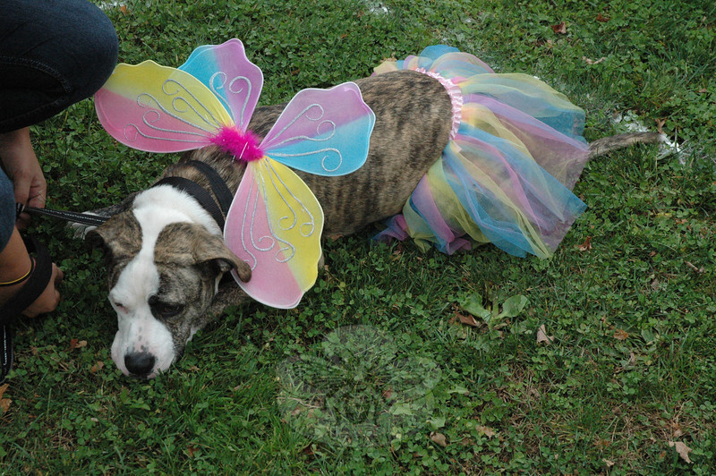 This fatigued dog, who was outfitted in a colorful costume, was spotted taking a rest at the Howl-o-ween event at Fairfield Hills. (Gorosko photo)