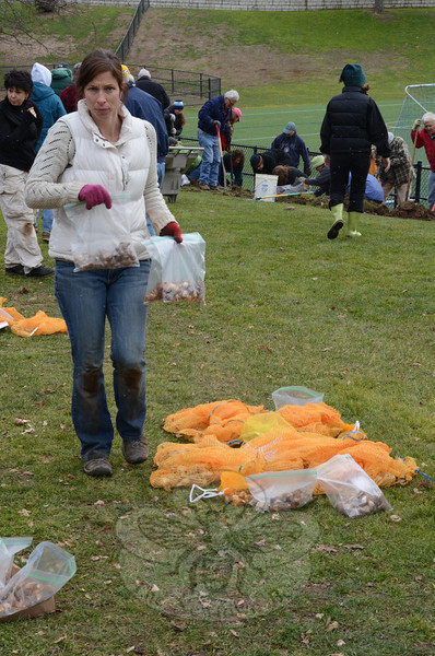 Nearly 100 volunteers, some from as far away as Greenwich and Glastonbury, converged on Treadwell Park December 22 to plant thousands of crocus, daffodil, and flowering onion bulbs along the hillside opposite the parking area, which will bloom annually in memory of those lost during the December 14 Sandy Hook School shooting. Among the volunteers were Leslie Freyberg of Redding, pictured covering a row of bulbs, and Newtowner Alison Bardolato, who shuttled bags of bulbs to the planting crew she was assisting. (Voket photo)