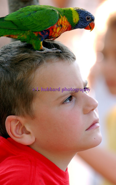 E.L. HUBBARD/JOURNALNEWS<br /> Derek (cq) Elam (cq) , 6, from Indianapolis, seems a liitle concerned about the lorikeet sitting on his head in the open-air aviary Lorikeet Landing at the Cincinnati Zoo Friday, 05/26/06. The exhibit is part of Awesome Aussie Adventure at the zoo from May 27 to September 4.