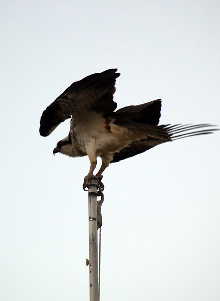 OSPREY FLAGPOLE ORNAMENT