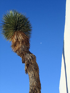 YUCCA WITH MOON