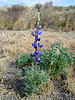 EARLY BLUEBONNET<br /> Well, if you couldn't see the Grinch (how could you not?!), maybe you can see this Big Bend Bluebonnet, although it's rare for anybody to see any this time of year. I mean, it's January, for cryin' out loud! Here we have the entire northern realm of the US setting record lows (-50º in Maine, for instance), and we've got bluebonnets peeking their way up in our balmy 80º sunny weather way earlier than anyone's ever seen them. This is just nuts. They aren't up in any great quantities yet, but they're there just the same. Craziness, pure and simple.