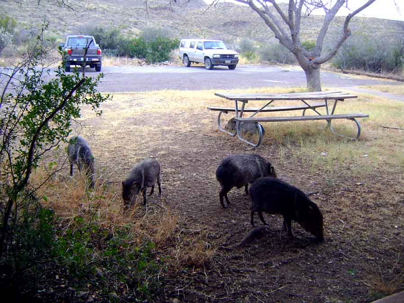 """PIGS IN THE YARD<br /> This particular photo I happen to call """"Pigs In The Yard"""" although the javelina (ha-va-LEEN-ah) isn't really a pig at all. It may look like a pig, especially with that snout and all, but due to its elaborate stomach makeup and rather intractable temperament -- you won't find any of these guys becoming domesticated -- it's really more closely related to a hippopotamus, if you can believe that. They're also sometimes called Musk Hog, due to their rather strong, musky odor that is very reminiscent of a skunk. I still call them pigs, though, especially when they're roaming around in my yard."""