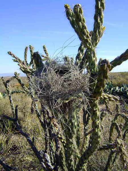CACTUS WREN NEST<br /> On my way back home, I happened to look over at just the right time to see this Cactus Wren's nest in a cholla, one of our many varieties of desert cactus out here. What a great find.