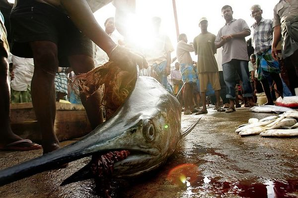 """2/1/2005 -- Trincomalee, Sri Lanka -- Hundreds of men stream through the morning fish auction in Trincomalee, Sri Lanka each morning to buy and sell fish.  In this picture, men watch as a huge fish called """"Copara"""" in Tamil is hacked into smaller pieces by machete. Project on Tsunami recovery by Dina Rudick and John Donnelly. Globe Staff Photo, Dina Rudick.                                      Note: Donnelly's second story will focus heavily on these fishermen."""