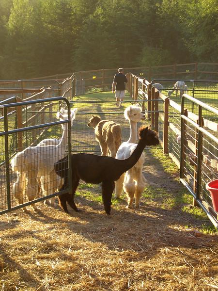 At the Alpaca Ranch