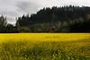 _MG_5357 mustard back field vin  © bob wilson 2010