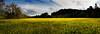 mustard back field pano © bob wilson 2010