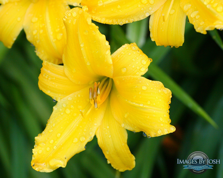 Yellow_Lily
