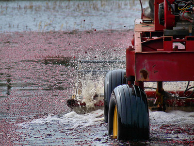 The view from the back side of a picker. You can see the berries, underneath the picker, that have come afloat. These big fat wheels just drive right through the water. You can see the berries splashing up as well.