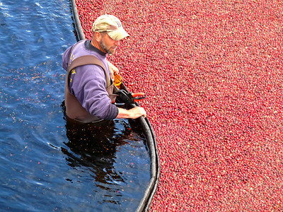 I never met this guy personally as he was quite busy with his part of the operation. You can see that the black ring is clamped together and he's monitoring it's every move...sometimes pulling, sometimes pushing, depending on what's going on in the middle of all that cranberry madness.