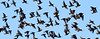 A flock of European Starlings take flight from a tree on the banks of the Androscoggin River along Route 136 in Auburn.