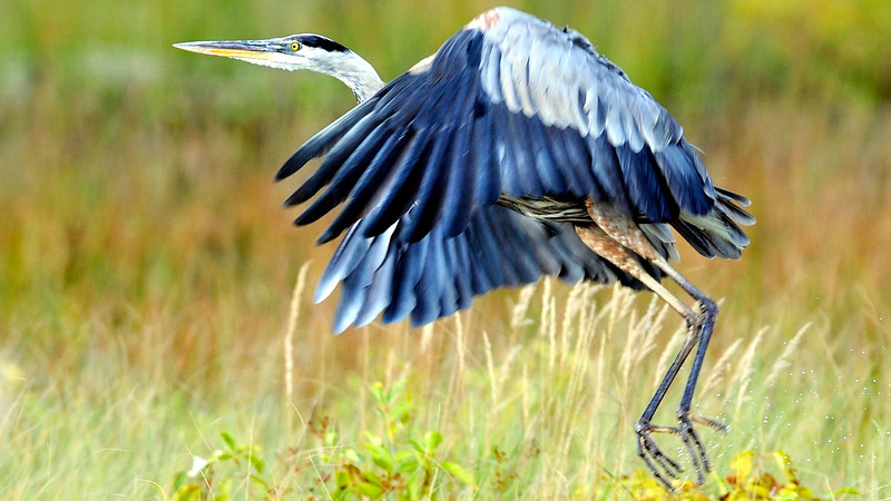 A great blue heron takes off from Middle Range Pond in Poland.
