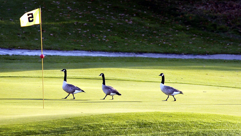 A threesome of Canada geese make their way across the 5th green at Fox Ridge Golf Club in Auburn.  The club's retriever Divot was taking break at this moment, but usually keeps a close watch on the grounds and chases them into the water nearby to help keep the greens clean as the birds can create quite a mess.