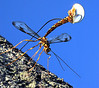 An Ichneumon wasp lays it's eggs in a tree in Lewiston.  The long tail of this largest of the Ichneumons is an ovipositor for laying eggs.  It is used to penetrate through wood and lay an egg in the developing larva of a horntail, a primitive wasp whose larva feeds in tunnels inside the wood.  The Ichneumon can sense the vibrations of the feeding horntail larvae with its antennae to find its prey.  The egg develops in the larva, not killing it until it is full grown.  The wasp pupates in the horntail tunnel, and, when an adult, chews its way out through the bark.