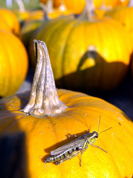 A grasshopper soakes up the sun on a pumpkin at Kelley Farm and Greenhouse in Monmouth.
