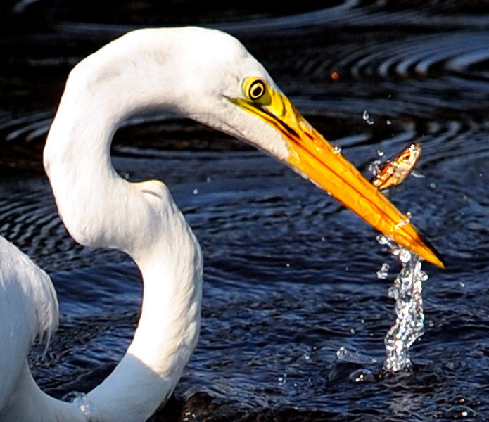 A Great Egret catches a meal in a small pond off Webster Street in Lewiston.  At the beginning of the twentieth century, great egret populations came close to extinction.  The species' feather plumes were in great demand for use in women's apparel.  The degradation and loss of wetland habitats and the development of coastal areas have prevented populations from returning to their previous levels.