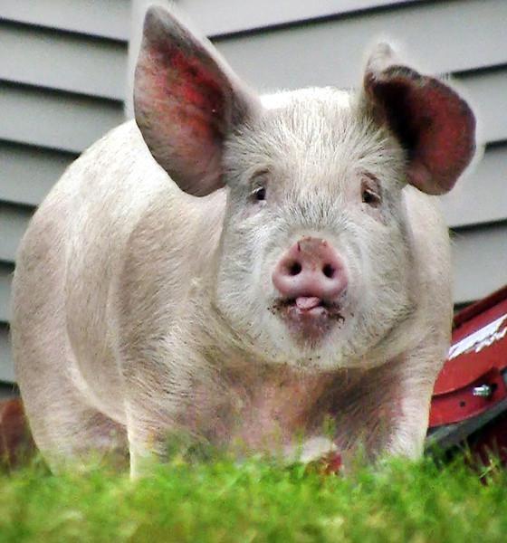 Pig scramble in Auburn