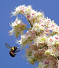 A bumble bee flies from one horse chestnut tree flower to another off West Bates Street in Lewiston .