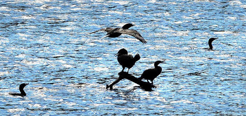 Cormorants jockey for position on a partially submerged branch in the Androscoggin River near Gas Light Park on Lincoln Street in Lewiston.