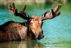A moose feeds in Little Nesowdehunk Lake on the edge of Baxter State Park.