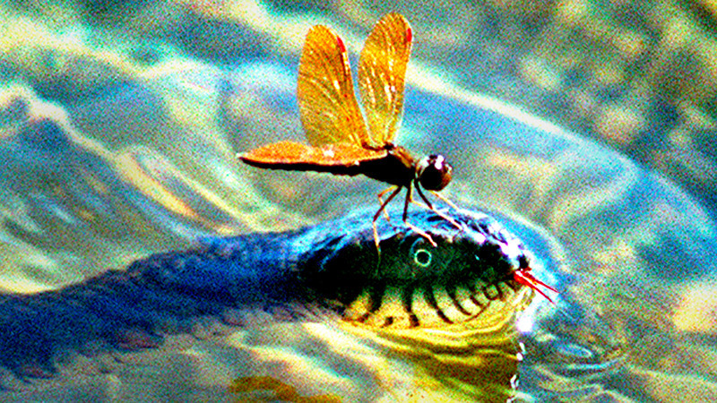 7/20/99<br /> Russ Dillingham Lewiston Sun Journal<br /> A dragonfly takes a precarious perch on top of a milk adder as it swims along the banks of the Androscoggin River in Turner Maine Tuesday afternoon 7/20/99