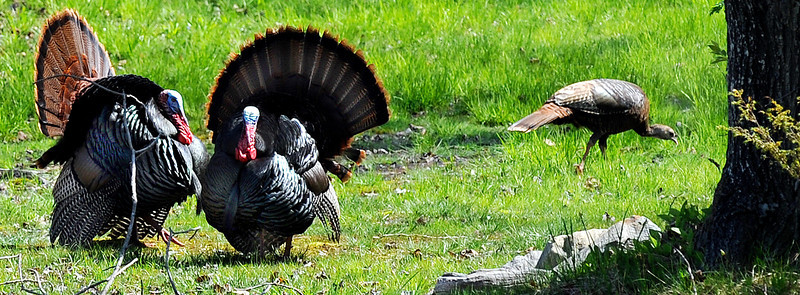 A pair of male turkey's vie for the attention of a female in a field off Merrill Road in Lewiston.