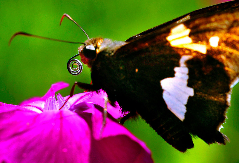 A silver-spotted skipper feeds on a Rose Campion in the garden of Chris Hayden and Bruce Little on Gamage Avenue in Auburn.
