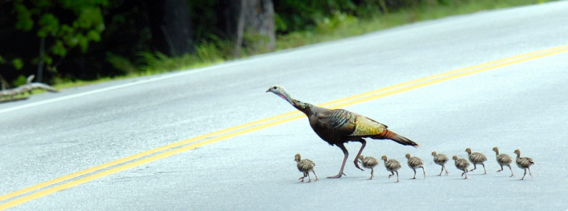 After a half hour and several dozen attempts to cross Route 26 in New Gloucester, a wild turkey leads her brood across the road safely.
