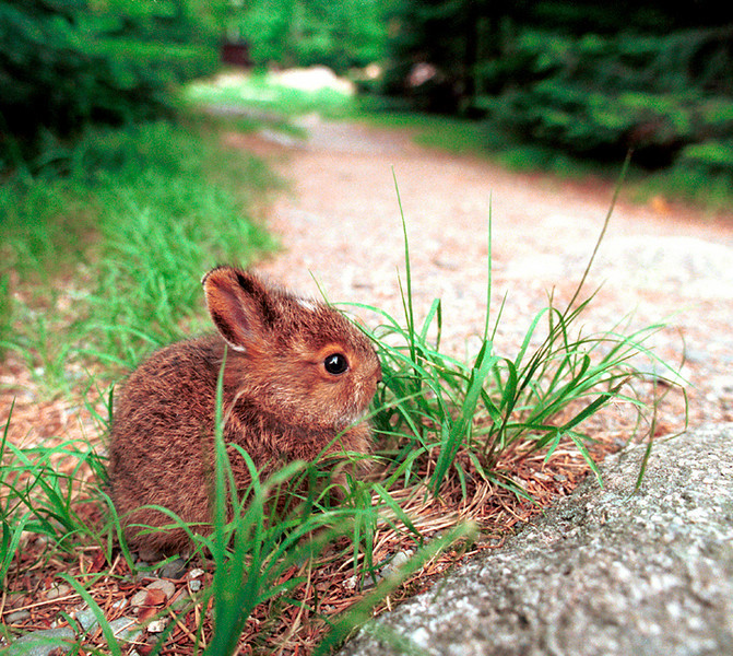 A bunny sits on the side of a trail in Baxter State Park.