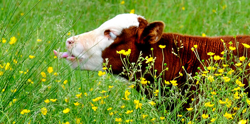 A calf snacks on some grass in a field of Route 121 in Oxford.