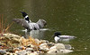 Loons have some fun on Middle Range Pond in Poland.