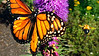 A bee flies to join other bees and a monarch butterfly feeding on a Liatris, or Gay Feather at Fox Ridge Golf Club in Auburn..