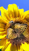 A bee and a butterfly collect pollen from a sunflower on the edge of a cornfield on the Empire Road in Poland.