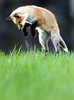 A young fox frolics with siblings on a hill off Turner Street in Auburn.