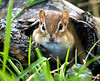 A chipmunk peeks out of a hollow log on outer Main Street in Lewiston.  The hole is no most likely to be connected to an underground burrow where chipmunks typically store   nuts, seeds and berries for the cold winter months that are just around the corner.
