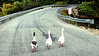 A trio of geese make their way up Range Hill Road in Poland.  After encountering a truck coming the other way, they decided to head back into Middle Range Pond.