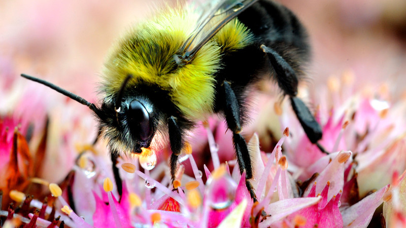 Russ Dillingham/SunJournal<br /> A bee takes a drink from a flower in front of Lisbon Community Federal Credit Union on Route 196 in Lisbon Saturday afternoon.
