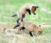 A pair of young fox battle for dominance in a field off Turner Street in Auburn.
