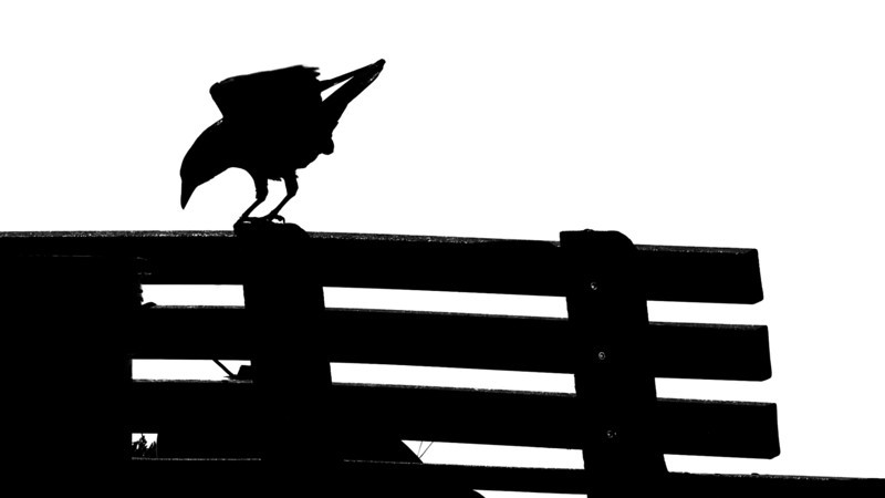 A crow looks for scraps at the rest stop off Lake Shore Drive in Auburn.