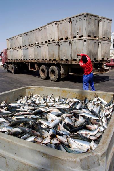 Sardines loaded on lorries