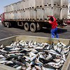 Sardines loaded on lorries