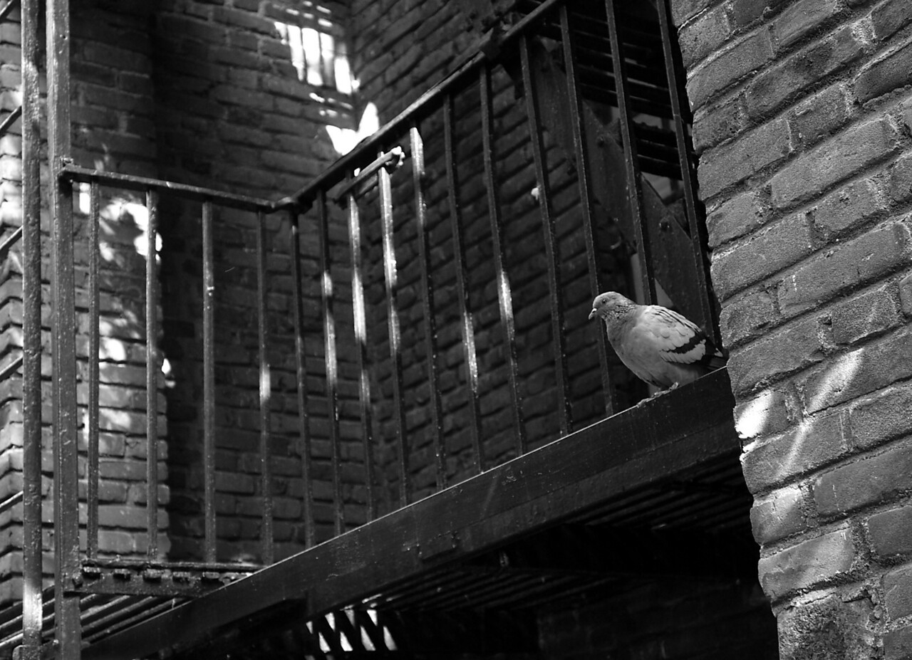Pigeon Perch<br /> Washington Heights, NYC<br /> <br /> Socializing while perched on a fire escape is not an exclusive for any specific ethnic group. During my walks on the west side of Washington Heights, it's common to see Orthodox Jews, African-Americans and Latinos intermingled on the streets. There's active interaction up above as well. I can always spot a plethora of pigeons using convenient fire escape perches for whatever it is city pigeons do.