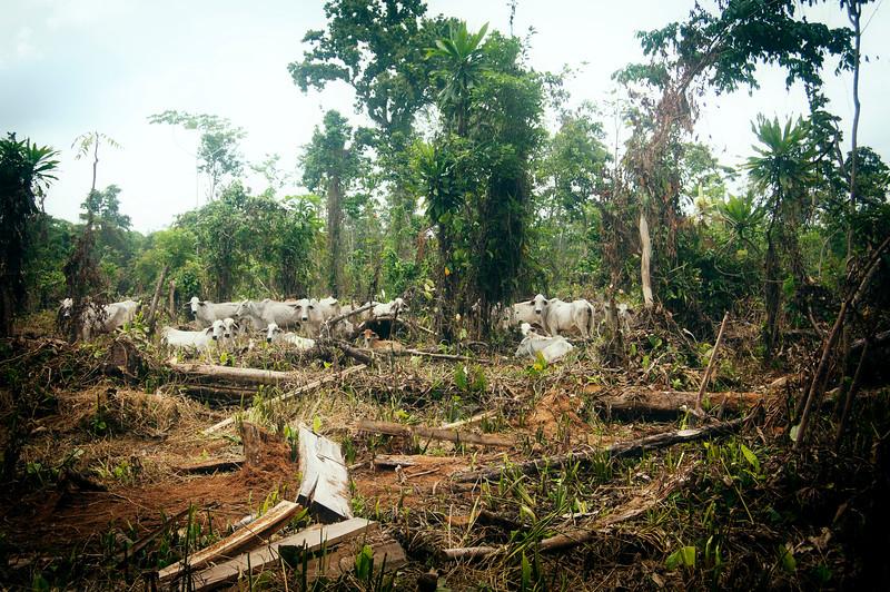 La selva está dando paso al pasto para el ganado. Poco después de que salimos, Eustaquio nos contó que  hay gente que está quemando gran parte de la zona deforestada para sembrar pasto.