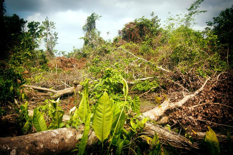 El impacto sobre el medio ambiente es evidente. Debido al corte de árboles se han secado los caños y las ciénagas, que representan el hábitat natural para muchas especies de animales como peces, guaguas, tortugas y diferentes aves. Esta parte ha sido conservada como reserva natural dentro de la Zona de Biodiversidad.