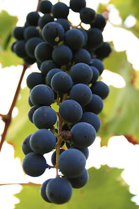 Stonefield-Harvest grapes 2